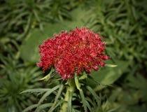 Mała czerwień kwitnie z r w piłce na tropikalnej roślinie zdjęcia stock