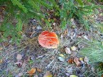 Mała czerwieni pieczarka chująca pod drzewem Zdjęcie Royalty Free
