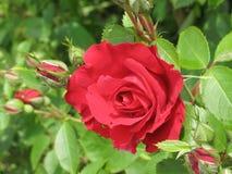 mała czerwieni róża Fotografia Royalty Free