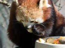 Mała czerwona panda przy jedzeniem Zbliżenie podczas gdy jedzący zdjęcie stock