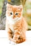 mała czerwona słodką kociaki Fotografia Royalty Free