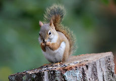 Mała czerwona wiewiórka Fotografia Stock