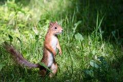 Mała czerwonej wiewiórki pozycja w zielonej trawie w poszukiwaniu jedzenia fotografia stock