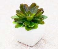 Mała dekoracyjna roślina Zdjęcie Stock
