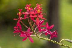 Mała delikatna czerwień kwitnie z żółtym szczegółem obrazy royalty free
