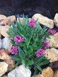 Mała delikatna kwiat fuksja w jardiniere zdjęcia stock