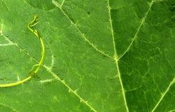 Mała dorośnięcie żyła w dużej dyniowej liścia zbliżenia fotografii fotografia stock