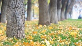 Mała drzewna aleja w jesień parku, liście jest fallng Lekki wiatr dmucha zdjęcie wideo