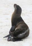 Mała dziecko foka jest urodzony na piaskowatej plaży obraz stock