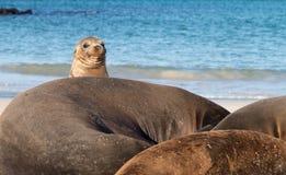 Mała dziecko foka na plaży wśród innych zdjęcia stock
