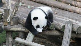 Mała dziecko panda Uczy się dlaczego Wspinać się puszek drabina, Chengdu, Chiny zbiory