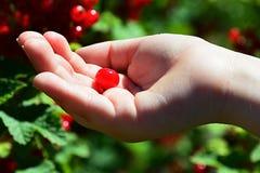 Mała dziecko ręka trzyma pojedynczej jagody redcurrant Riber Rubrum w palmie Zdjęcie Royalty Free
