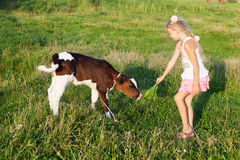 Mała dziewczyna karmi łydki Zdjęcie Stock