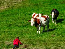 Mała dziewczynka chce bawić się z brown cowson wzgórze Obrazy Royalty Free