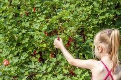 Mała dziewczynka podnosi dojrzałe jagody agrest w ogródzie Zdjęcia Royalty Free