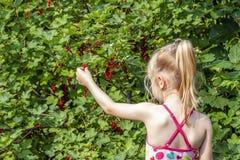 Mała dziewczynka podnosi dojrzałe jagody agrest w ogródzie Fotografia Royalty Free