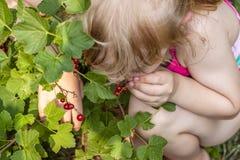 Mała dziewczynka podnosi dojrzałe jagody agrest w ogródzie Fotografia Stock