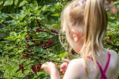 Mała dziewczynka podnosi dojrzałe jagody agrest w ogródzie Obraz Royalty Free