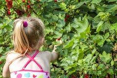 Mała dziewczynka podnosi dojrzałe jagody agrest w ogródzie Obraz Stock