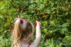 Mała dziewczynka podnosi dojrzałe jagody agrest w ogródzie Zdjęcia Stock