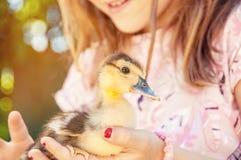 Mała dziewczynka z wiosny kaczątkiem Drób w rękach c fotografia stock