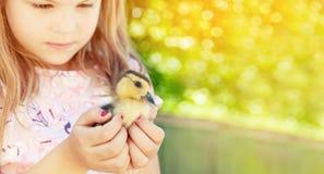 Mała dziewczynka z wiosny kaczątkiem Drób w rękach c zdjęcie stock