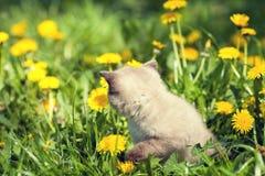 Mała figlarka na gazonie dandelions fotografia stock