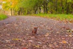 Mała figlarka na spacerze na ścieżce Figlarka chodzi pet Puszysty dymiący kot z ostrzyżeniem Groommer ostrzyżenia kot zdjęcia stock