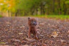 Mała figlarka na spacerze na ścieżce Figlarka chodzi pet Puszysty dymiący kot z ostrzyżeniem Groommer ostrzyżenia kot zdjęcie stock