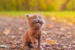 Mała figlarka na spacerze na ścieżce Figlarka chodzi pet Puszysty dymiący kot z ostrzyżeniem Groommer ostrzyżenia kot fotografia stock