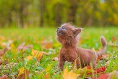 Mała figlarka na spacerze na trawie Figlarka chodzi pet Puszysty dymiący kot z ostrzyżeniem Groommer ostrzyżenia kot obraz stock