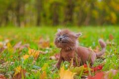 Mała figlarka na spacerze na trawie Figlarka chodzi pet Puszysty dymiący kot z ostrzyżeniem Groommer ostrzyżenia kot fotografia royalty free