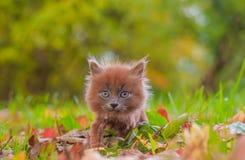 Mała figlarka na spacerze na trawie Figlarka chodzi pet Puszysty dymiący kot z ostrzyżeniem Groommer ostrzyżenia kot zdjęcie stock