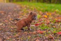 Mała figlarka na spacerze na trawie Figlarka chodzi pet Puszysty dymiący kot z ostrzyżeniem Groommer ostrzyżenia kot obrazy royalty free