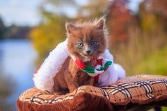 Mała figlarka na spacerze z koloru szalikiem, bożymi narodzeniami kapeluszowymi i Figlarka chodzi pet Puszysty dymiący kot z ostr zdjęcie royalty free