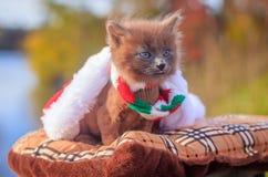 Mała figlarka na spacerze z koloru szalikiem, bożymi narodzeniami kapeluszowymi i Figlarka chodzi pet Puszysty dymiący kot z ostr fotografia royalty free