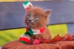 Mała figlarka na spacerze z koloru szalikiem Figlarka chodzi pet Puszysty dymiący kot z ostrzyżeniem Groommer ostrzyżenia kot zdjęcia royalty free