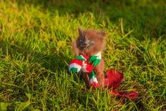 Mała figlarka na spacerze z koloru szalikiem Figlarka chodzi pet Puszysty dymiący kot z ostrzyżeniem Groommer ostrzyżenia kot fotografia royalty free