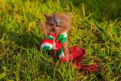 Mała figlarka na spacerze z koloru szalikiem Figlarka chodzi pet Puszysty dymiący kot z ostrzyżeniem Groommer ostrzyżenia kot zdjęcia stock