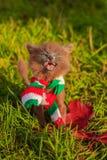 Mała figlarka na spacerze z koloru szalikiem Figlarka chodzi pet Puszysty dymiący kot z ostrzyżeniem Groommer ostrzyżenia kot zdjęcie stock