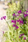Mała Fiołkowa orchidea Obrazy Royalty Free