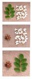 Mała gałąź akacja z świeżymi liśćmi odizolowywającymi, kolekcja zdjęcie stock