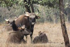 Mała grupa gaurs lub Indiański żubr który odpoczywa na małym lesie obraz stock