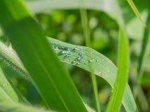 Mała grupa raindrops na traw roślinach po deszczu Zdjęcia Stock