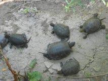 Mała grupa zieleni żółwie Obrazy Royalty Free