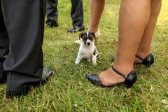 Mała Jack Russell teriera szczeniaka pozycja na trawie, dorosli l zdjęcia royalty free