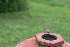 Mała jaszczurka na górze żelaznego pożarniczego hydranta outdoors Obrazy Royalty Free