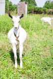 Mała kózka na łące z zieloną trawą Obrazy Royalty Free
