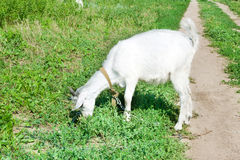 Mała kózka na łące z zieloną trawą Obraz Royalty Free