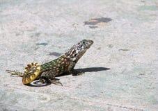 Mała kędzierzawa ogoniasta jaszczurka od Kuba poz dla turystów Obrazy Stock